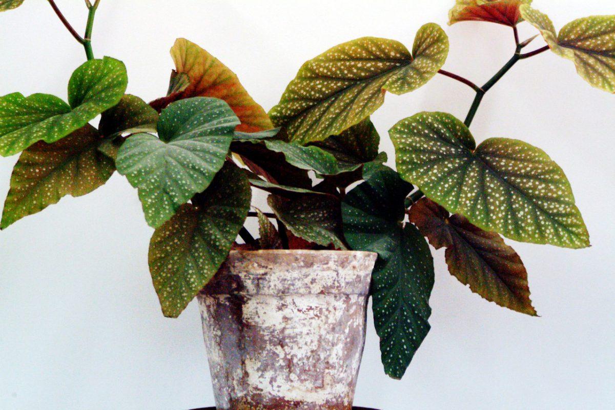 Choroby roślin doniczkowych